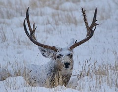 October 26, 2020 - Mule deer with a head of snow. (Bill Hutchinson)