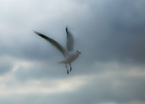 Seagull (soft drawn)
