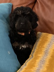 Olive is a Toffee & Fonzie sweet puppy