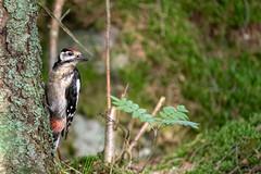 Woodpecker - käpytikka