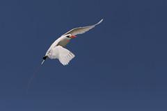 Red-tailed Tropicbird/Silver Bosunbird (Phaethon rubricauda)