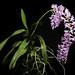 Aerides magnifica Cootes & W.Suarez, OrchideenJ. 21: 127 (2014)