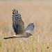 A Pallid or Montagu's Harrier Female Juvenile in flight
