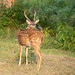 Chital stag has a communion with mynah