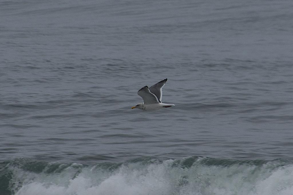 Western x Glaucous-winged Gull (hybrid) (Larus occidentalis x glaucescens) 2020-10-30 (15)