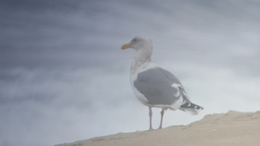 Western x Glaucous-winged Gull (hybrid) (Larus occidentalis x glaucescens) 2020-10-30 (14)
