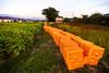 収穫前の生姜畑