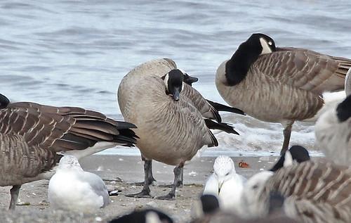 Cackling Goose - Hamlin Beach Park - © Rosemary Reilly - Oct 24, 2020