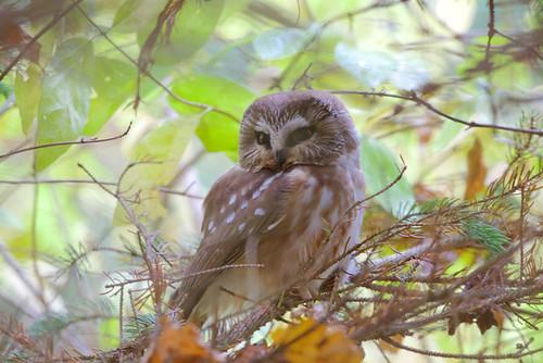 Northern Saw-whet Owl - Owl Woods - © Jeanne Verhulst - Oct 29, 2020