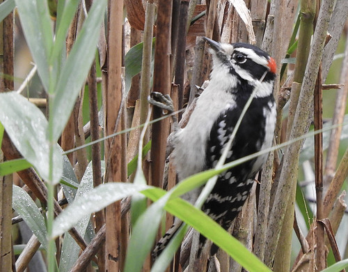 Downy Woodpecker - Durand Eastman Park - © Eunice Thein - Oct 29, 2020
