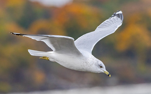 Ring-billed Gull - Irondequoit Bay Outlet - © David Laiacona - Oct 30, 2020