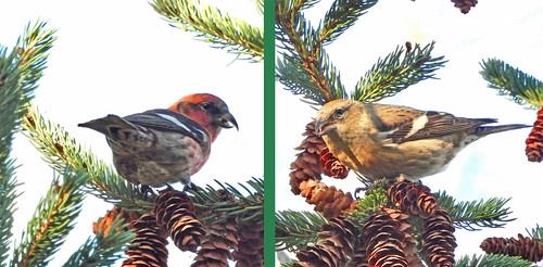 White-winged Crossbill (M/F) - Owl Woods - © Candace Giles - Oct 31, 2020