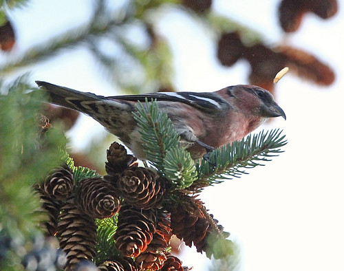 White-winged Crossbill - Owl Woods - © Rosemary Reilly - Oct 31, 2020