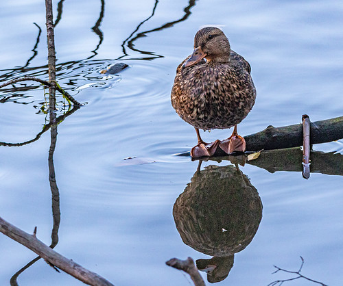 American Black Duck - Durand Eastman Park - © David Laiacona - Oct 31, 2020