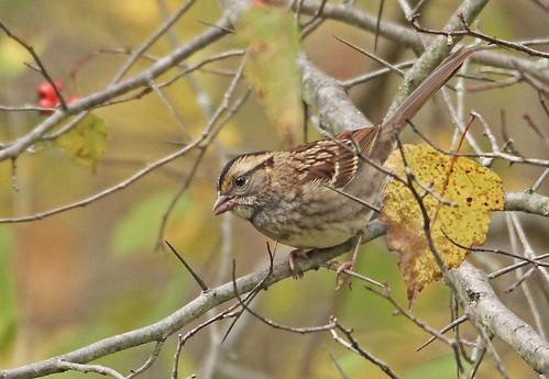 White-throated Sparrow - Hamlin Beach Park - © Rosemary Reilly - Oct 24, 2020