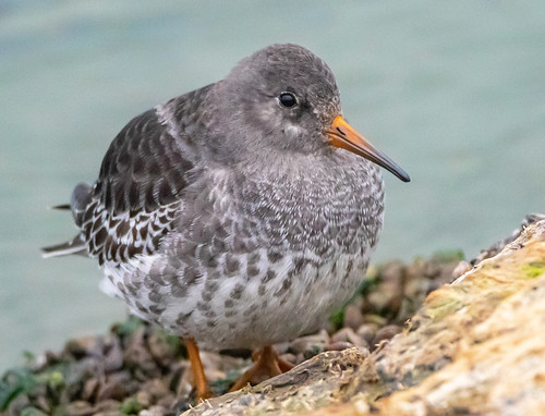 Purple Sandpiper - Irondequoit Bay Outlet - © David Laiacona - Oct 29, 2020