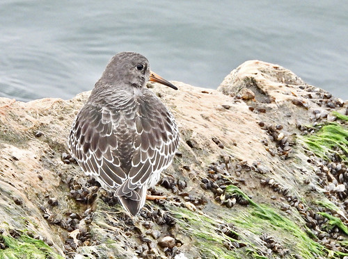 Purple Sandpiper - Irondequoit Bay Outlet - © Candace Giles - Oct 29, 2020