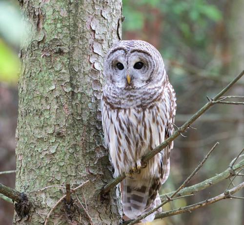 Barred Owl - Owl Woods - © Jeanne Verhulst - Oct 29, 2020
