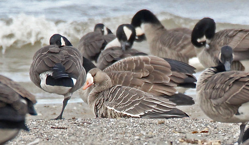 Greater White-fronted Goose - Hamlin Beach Park - © Rosemary Reilly - Oct 24, 2020