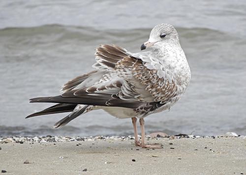 Ring-billed Gull - Charlotte Beach - © Eunice Thein - Oct 28, 2020