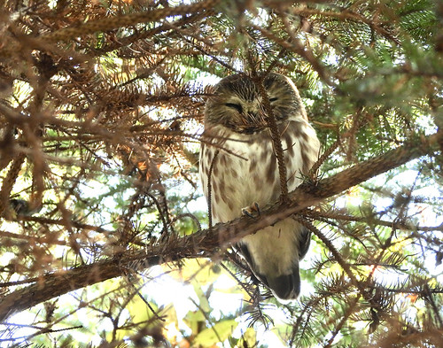 Northern Saw-whet Owl - Owl Woods - © Candace Giles - Oct 31, 2020