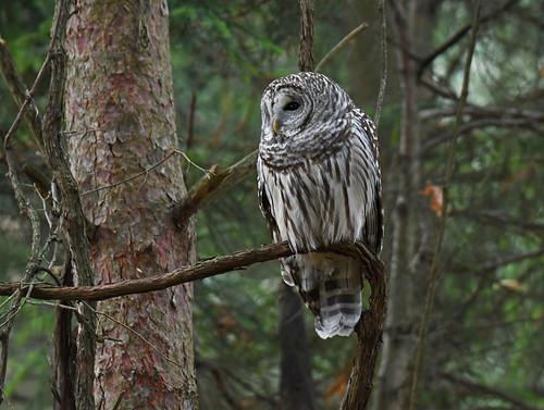 Barred Owl - Owl Woods - © Dick Horsey - Oct 30, 2020