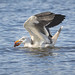 Pacific Gull: Crab Dinner