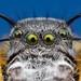 Phidippus mystaceus male jumping spider - Oklahoma