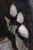 Limpets