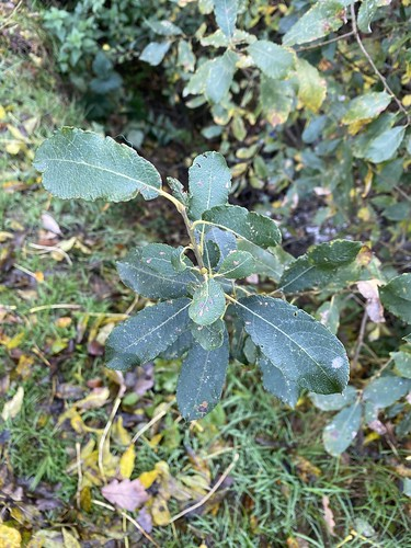 Oct Nov 2020 Salix cinereae (salicaceae) Gray willow, pussy willow 01