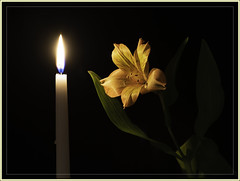 Flower by Candlelight