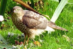 Photo of Sparrowhawk, Broughton, Flintshire.