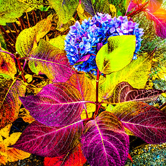 Hot autumn hydrangeas
