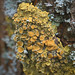 Common yellow lichen
