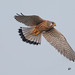 A Common Kestrel Male fighting with the female