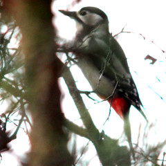 Great spotted woodpecker, Dendrocopos major, Större hackspett