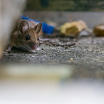 Little mouse friend that lived under the shed