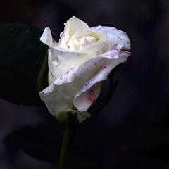 Petita rosa blanca