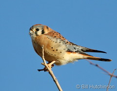 November 8, 2020 - Kestrel on a stick. (Bill Hutchinson)