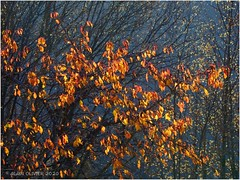 Cerisier en novembre