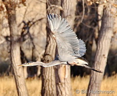 November 8, 2020 - Great blue heron flyby. (Bill Hutchinson)