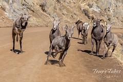 November 1, 2020 - Rambunctious bighorn ram lambs. (Tony's Takes)