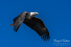 November 1, 2020 - Beautiful bald eagle flyby. (Tony's Takes)