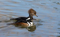 November 5, 2020 - Hooded mergansers out for a swim. (Jessica Fey)