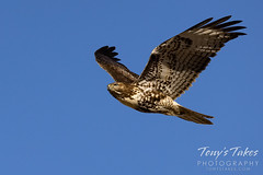 November 8, 2020 - Red tailed hawk flyby. (Tony's Takes)