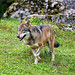 Happy wolf running!