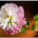 last flower standing