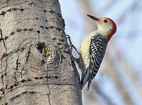 Red-bellied Woodpecker - Braddock Bay East Spit - © Dick Horsey - Nov 05, 2020