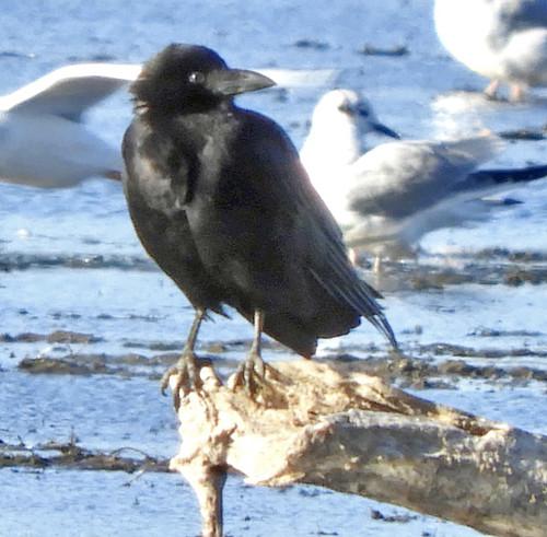 Common Raven - LaSalle Landing Park - © Eunice Thein - Nov 04, 2020