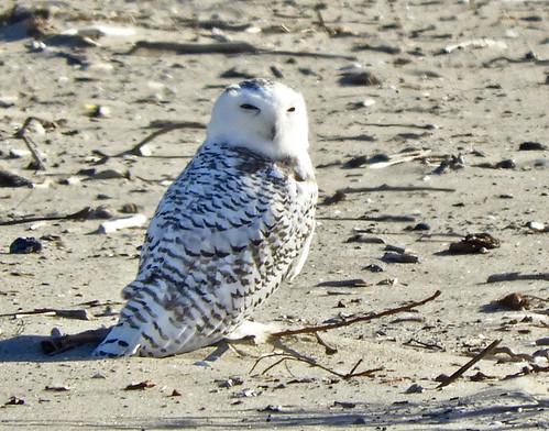 Snowy Owl - Irondequoit Bay Outlet - © Eunice Thein - Nov 08, 2020